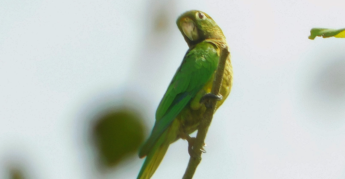Pericos Pecho Sucio (Eupsittula nana)